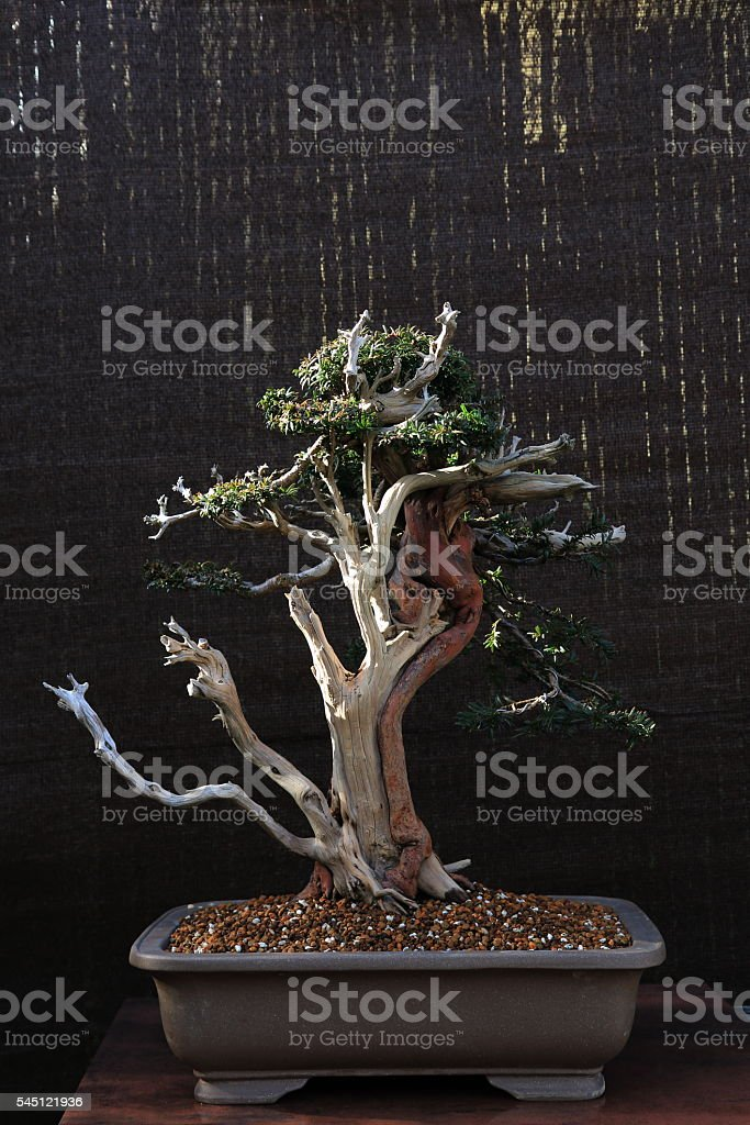 Bonsai Jupiter stock photo