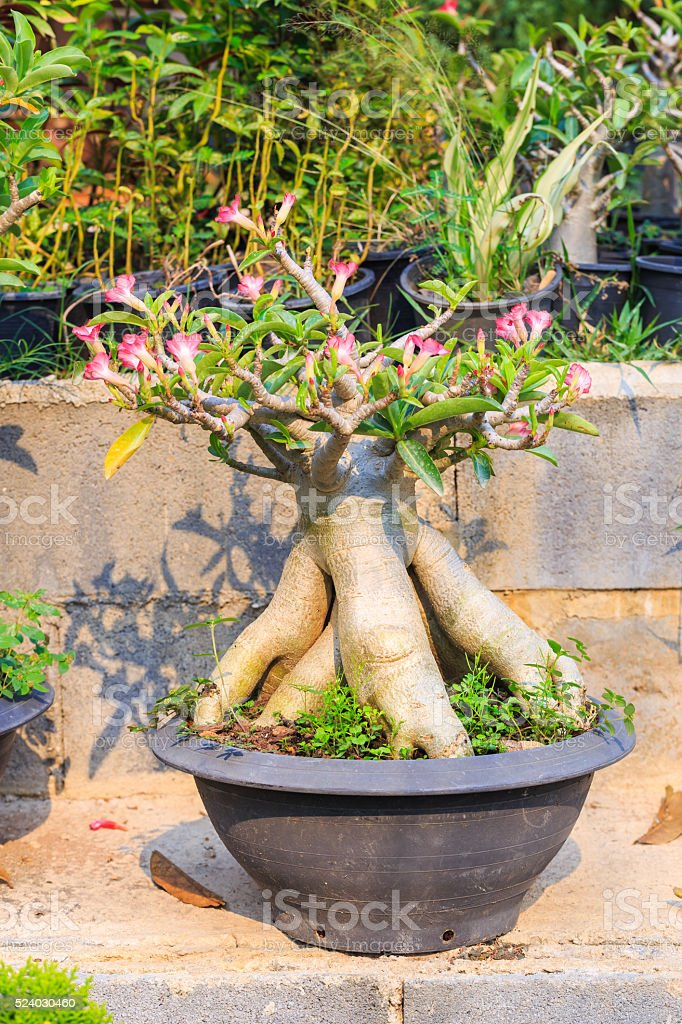 bonsai of desert rose, impala lily, pink flower stock photo