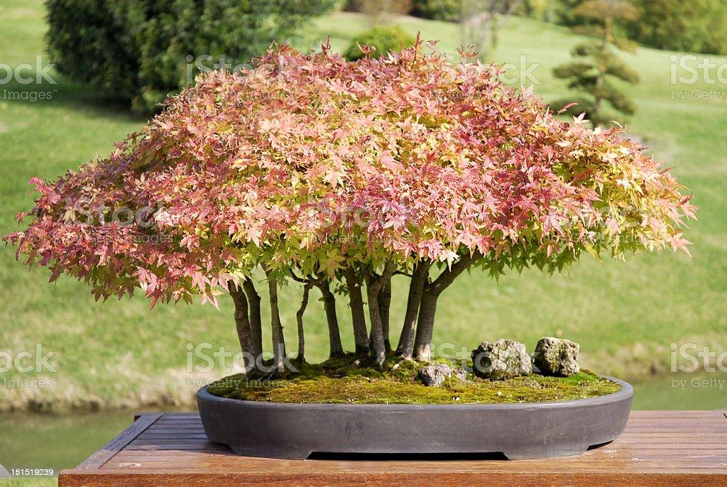 Bonsai of maple Acer palmatum stock photo