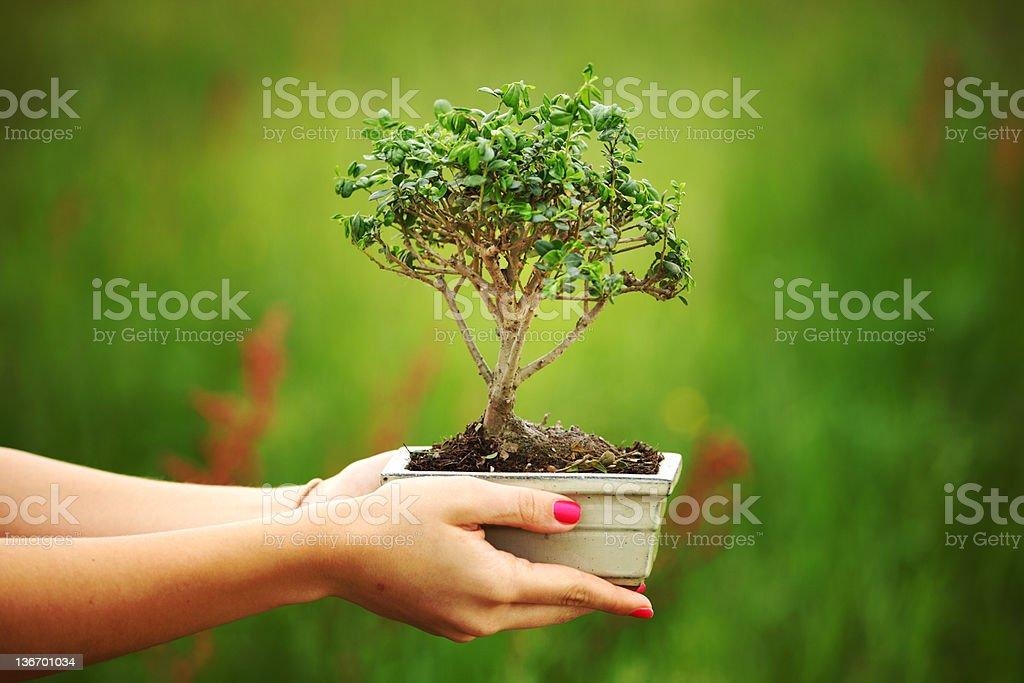 bonsai royalty-free stock photo