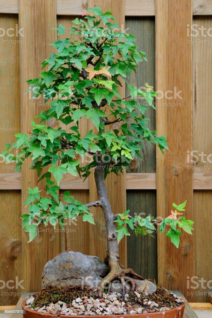 Bonsai. stock photo