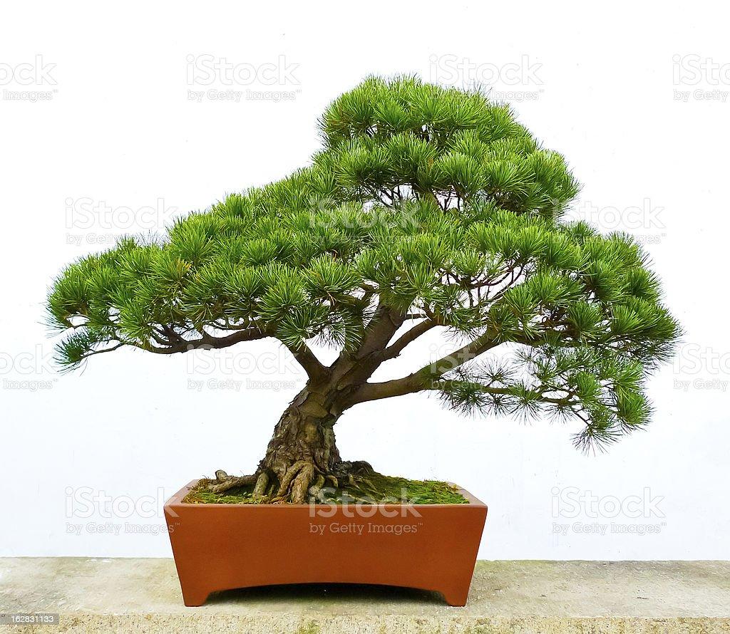 Bonsai pine tree stock photo