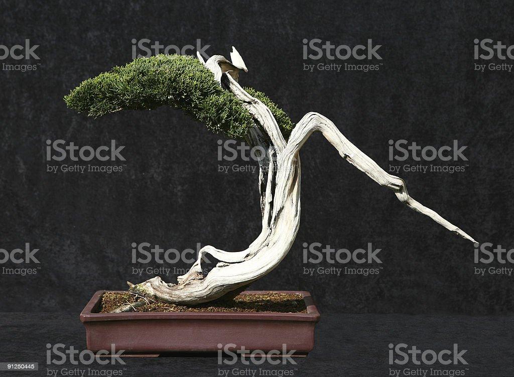 Bonsai tree 3 royalty-free stock photo