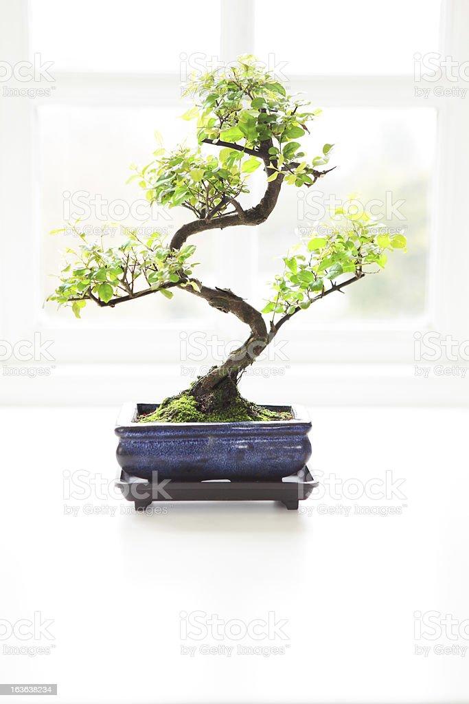 Bonsai Tree and Window stock photo
