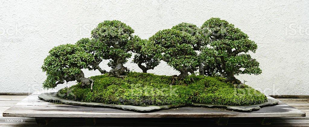 Bonsai tree grove royalty-free stock photo