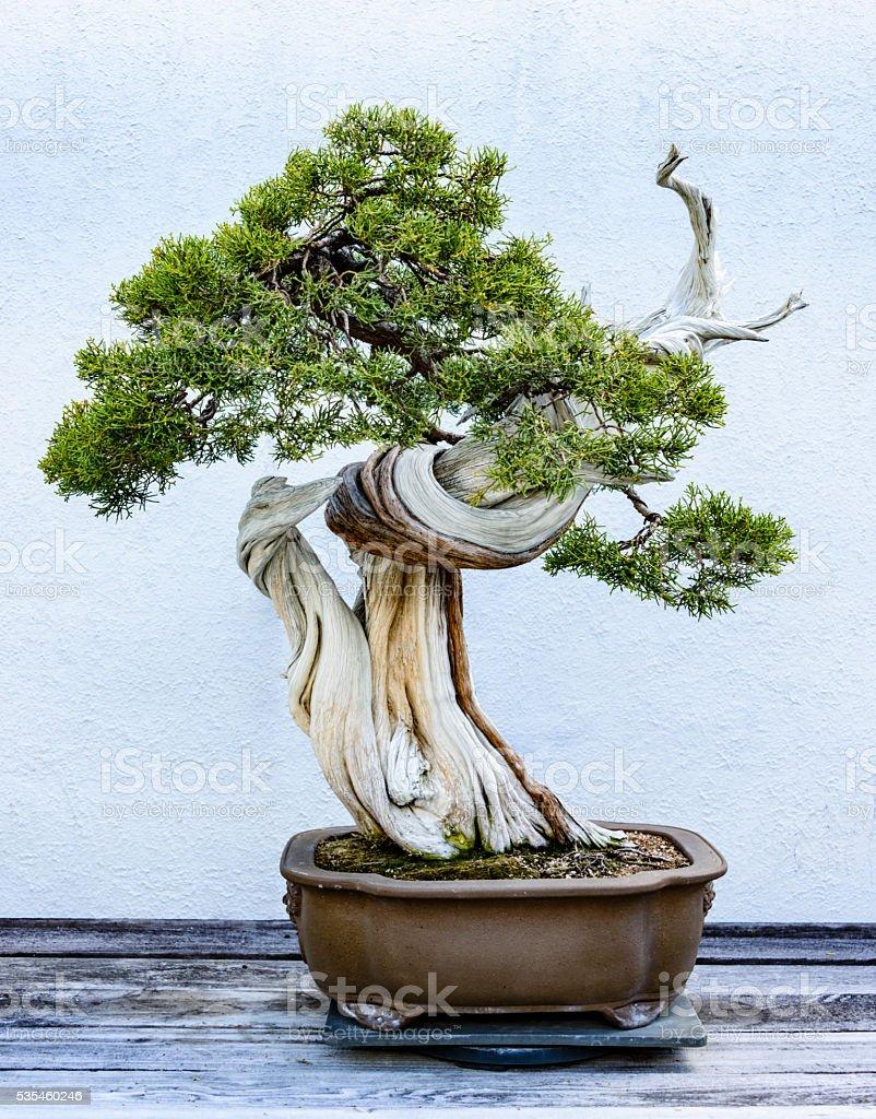 Bonsai tree in a ceramic pot stock photo