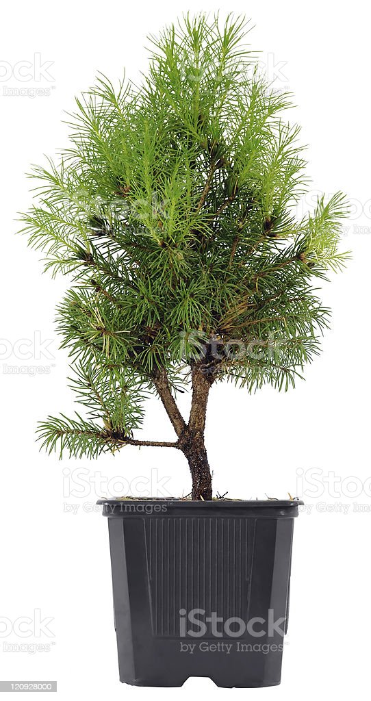 Bonsai Tree in a plastic pot on white background royalty-free stock photo