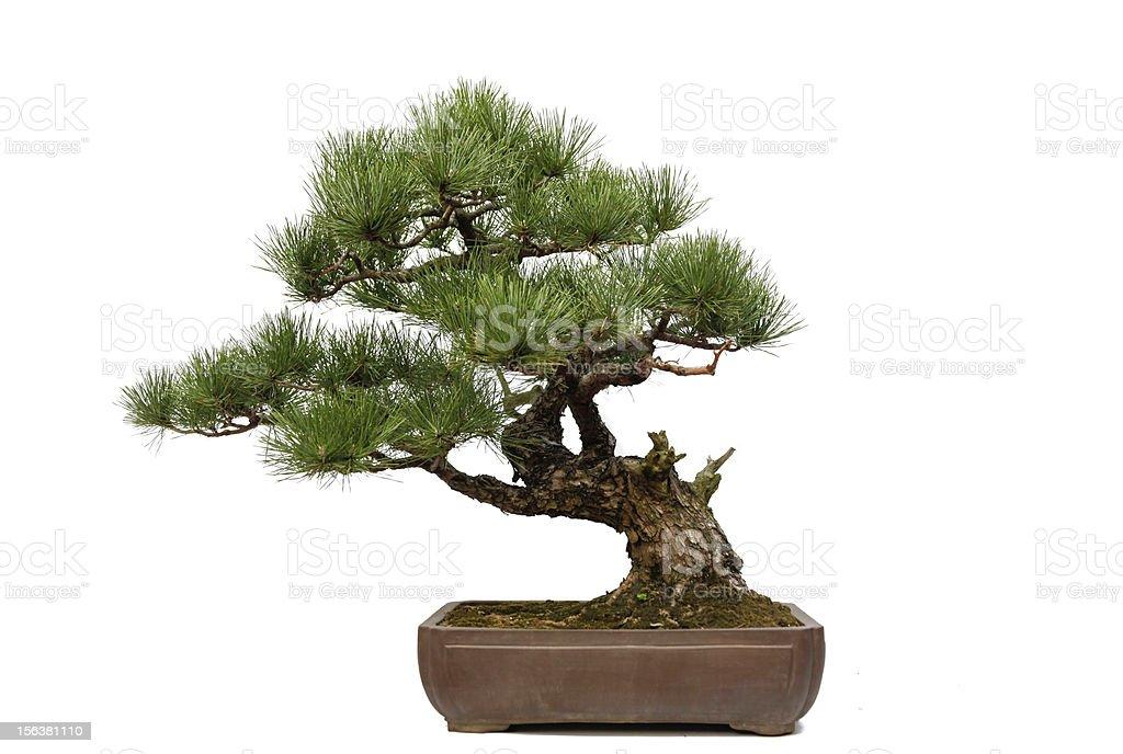 Bonsai tree in ceramin pot isolated on white stock photo