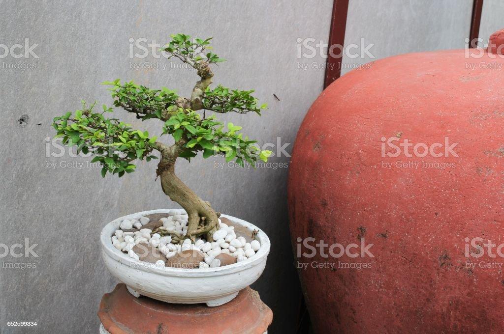 bonsai tree in garden beautiful stock photo