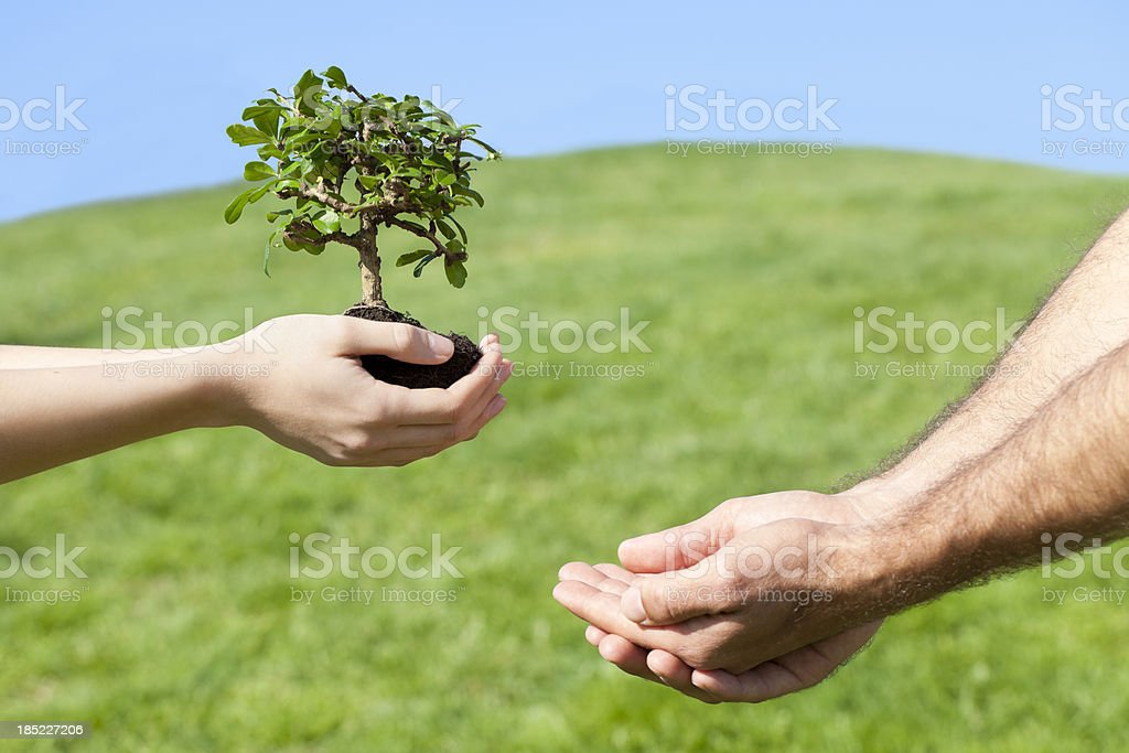 bonsai tree in hands with sunlight stock photo