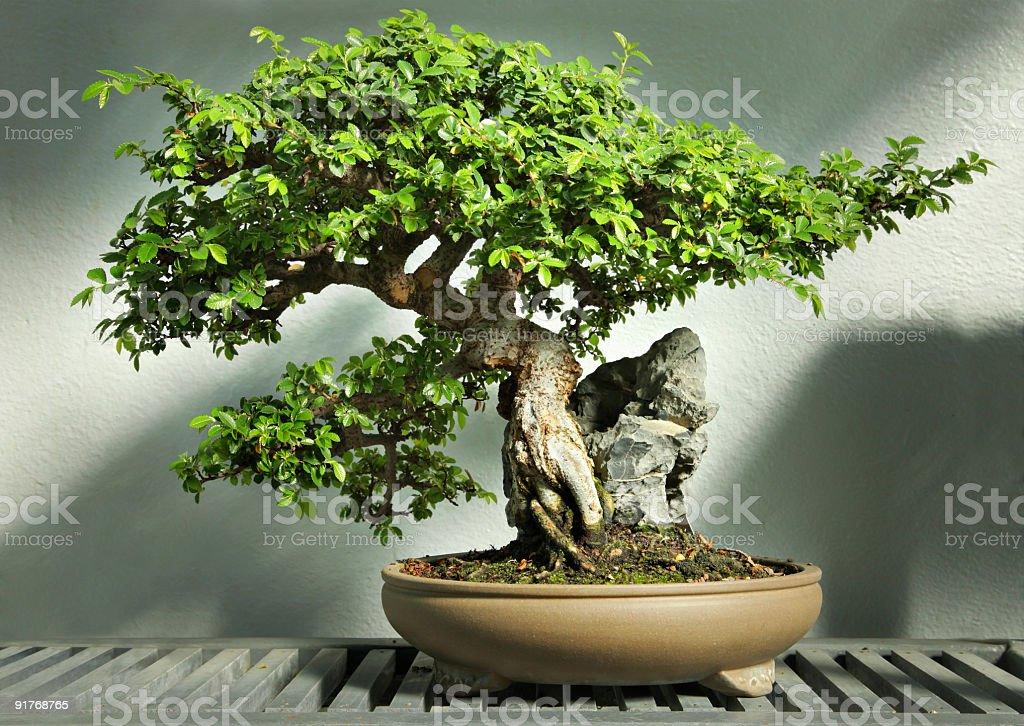 Bonsai tree in pot HDR stock photo