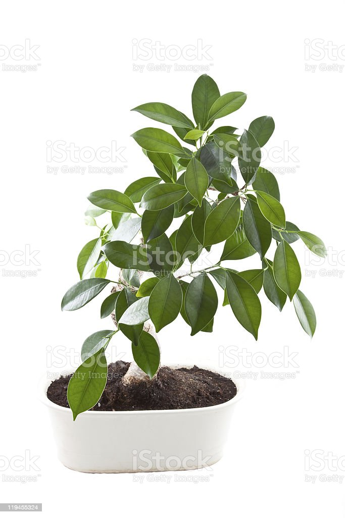 Bonsai tree in pot. stock photo
