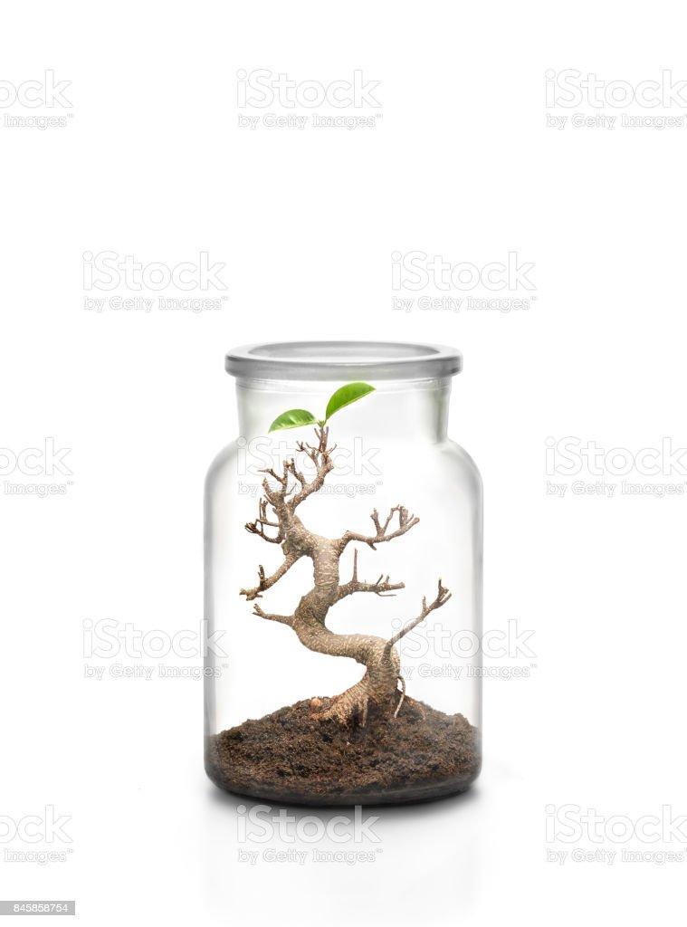 Bonsai tree inside glass jar stock photo