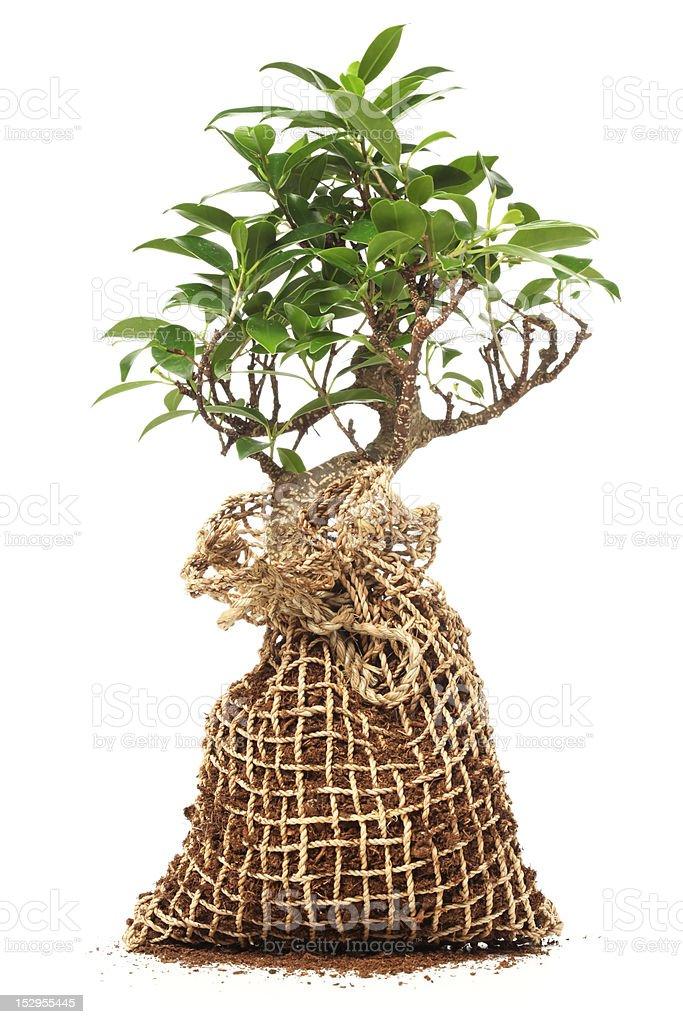 Bonsai tree isolated on white royalty-free stock photo