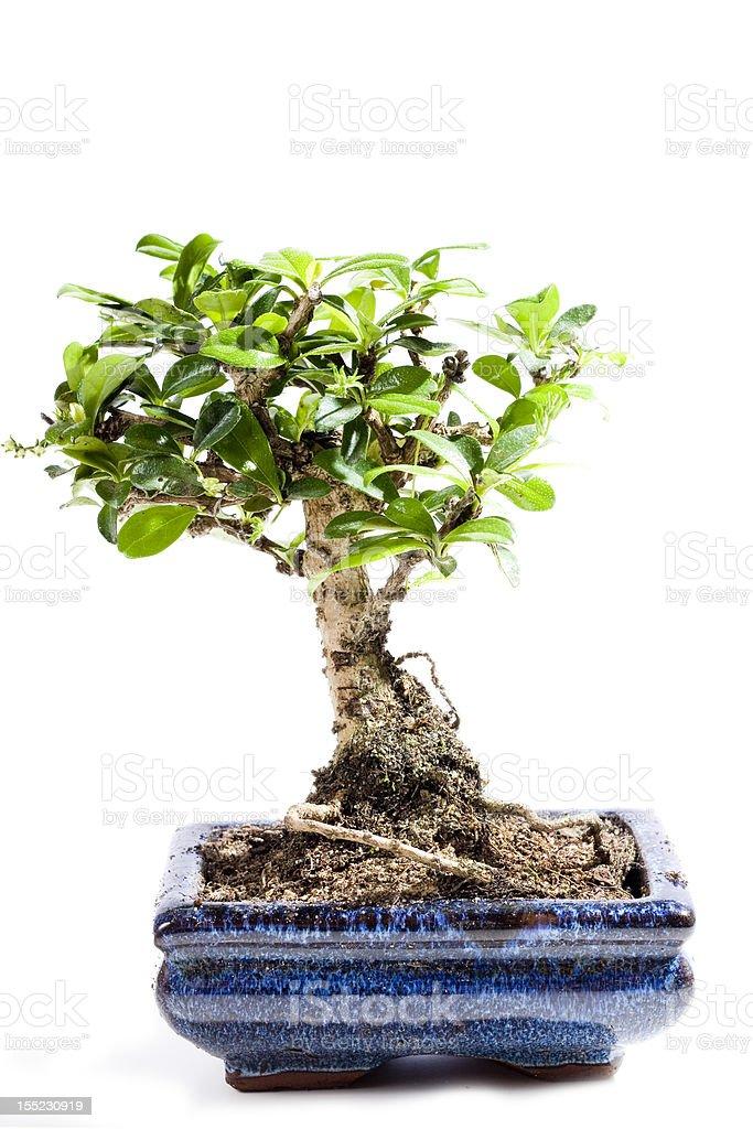 Bonsai tree isolated on white stock photo
