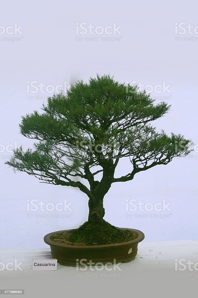 Bonsai Tree Of Casuarina tree, India stock photo