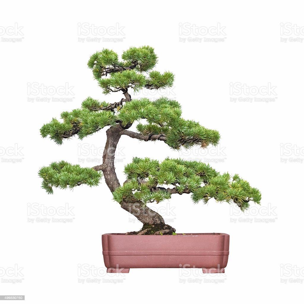 bonsai tree of pine stock photo