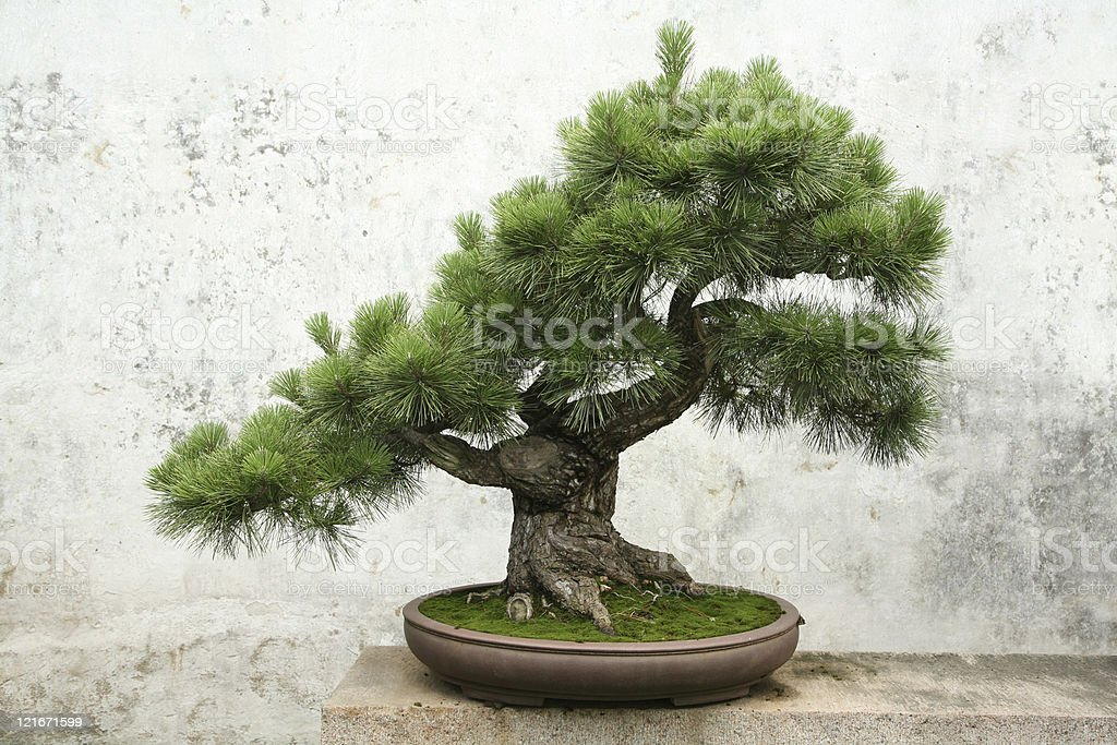 Bonsai tree on concrete ledge  stock photo