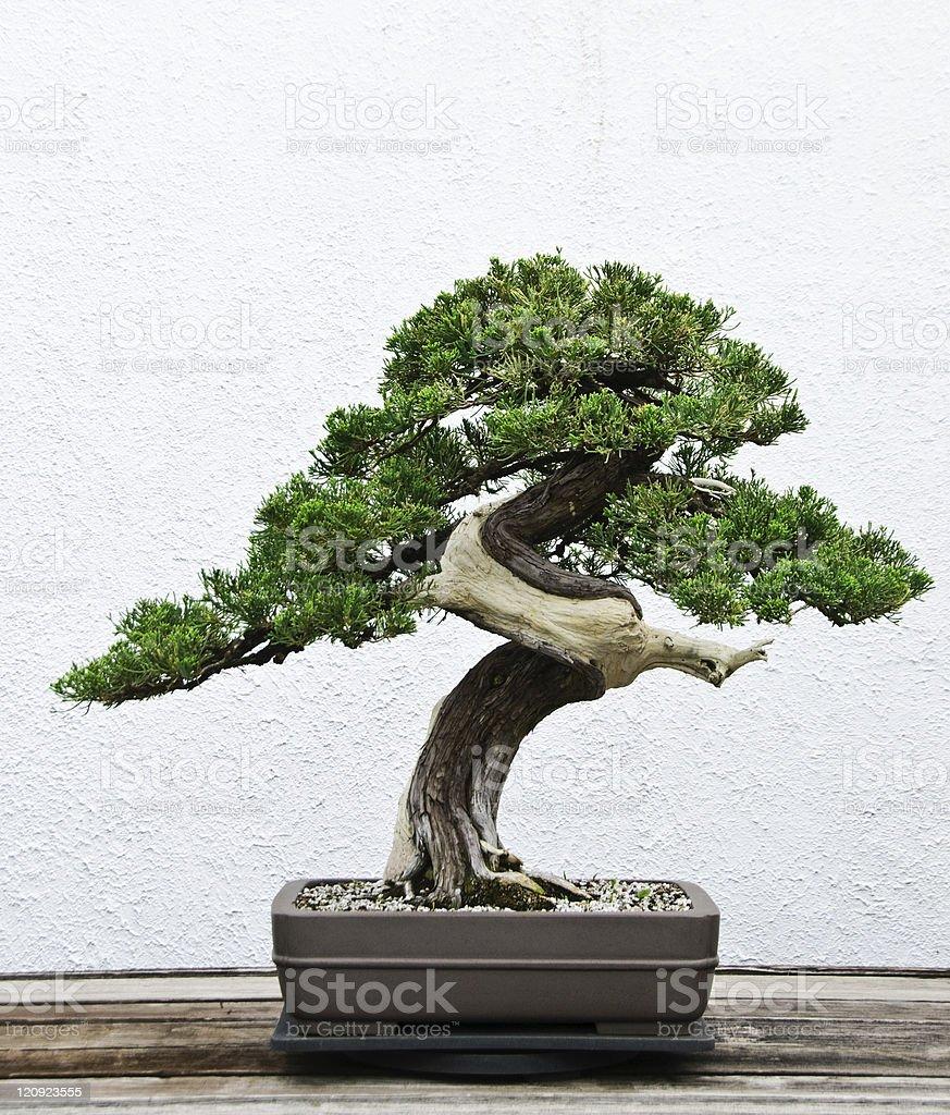 Bonsai tree stock photo