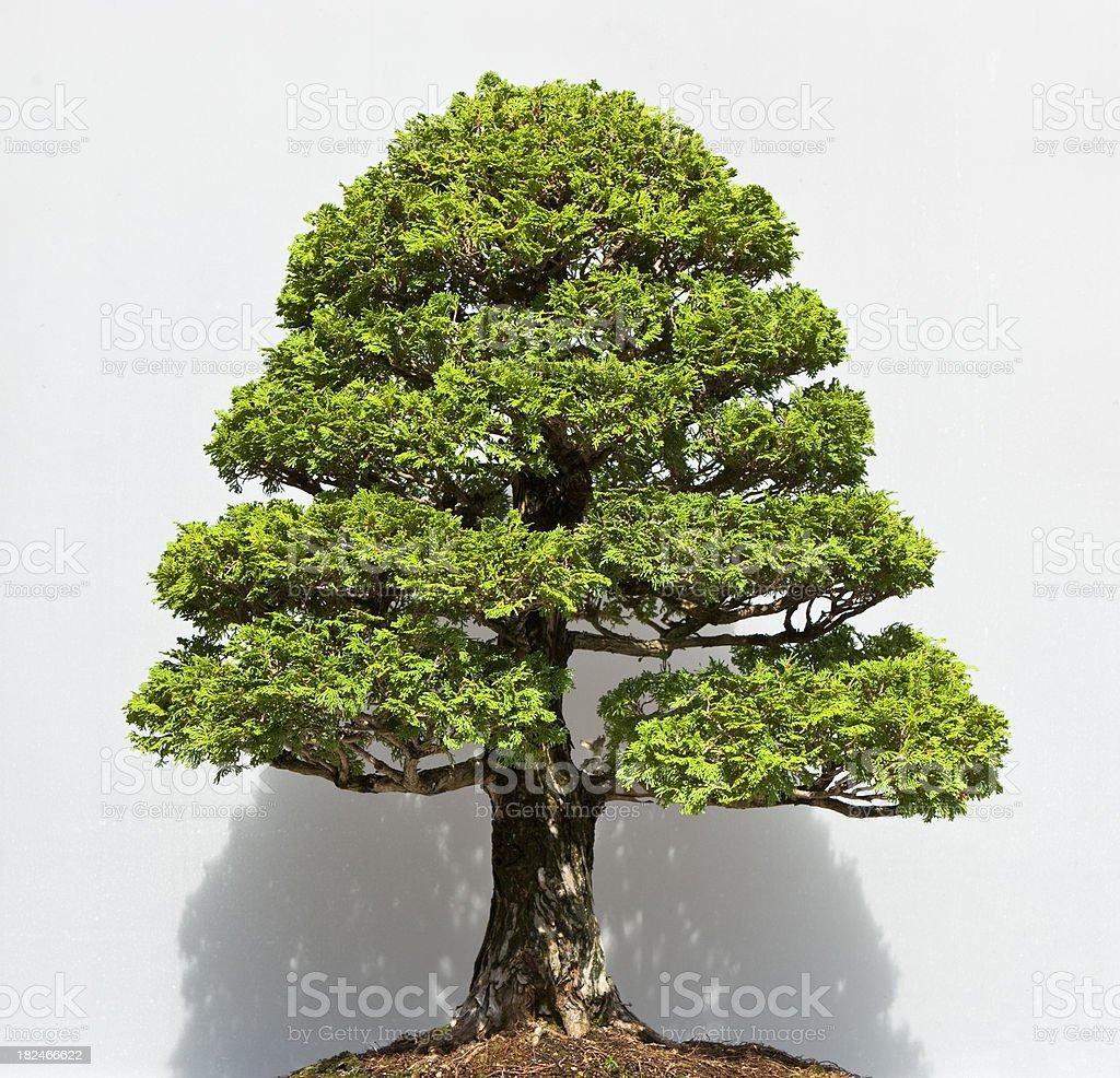 Bonsai Tree royalty-free stock photo