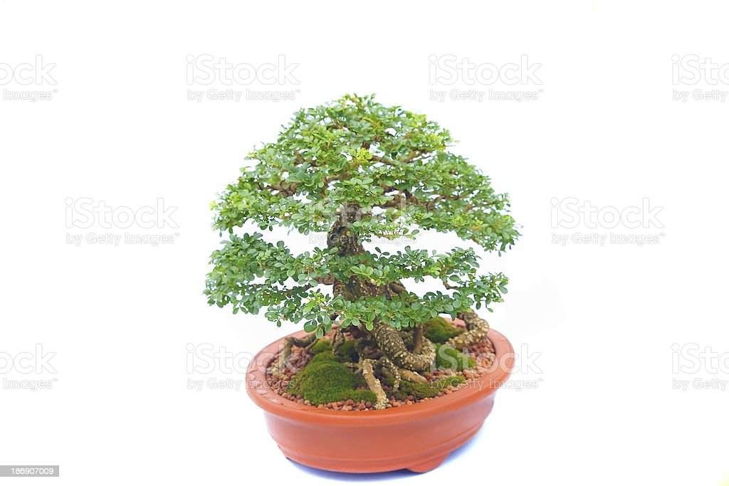 Bonsai Tree royalty-free stock photo