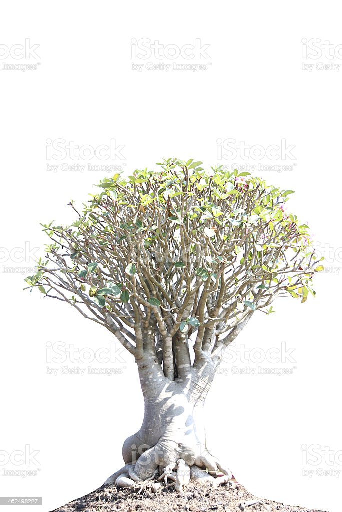 bonsai tree. royalty-free stock photo
