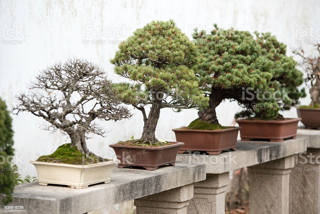 Bonsai trees lined up in Chinese garden stock photo
