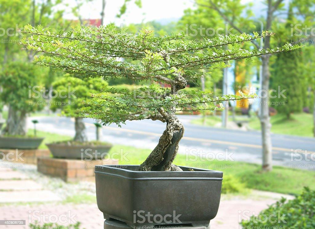 Bonsai trees. royalty-free stock photo