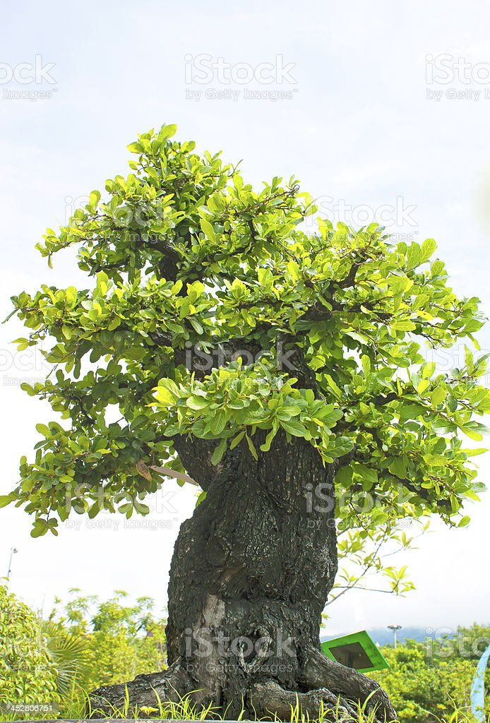 Bonsai trees. royalty-free stock photo