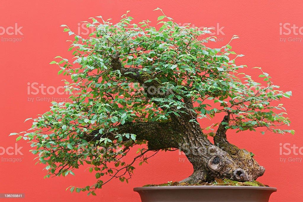 bonsai Zelkova tree royalty-free stock photo