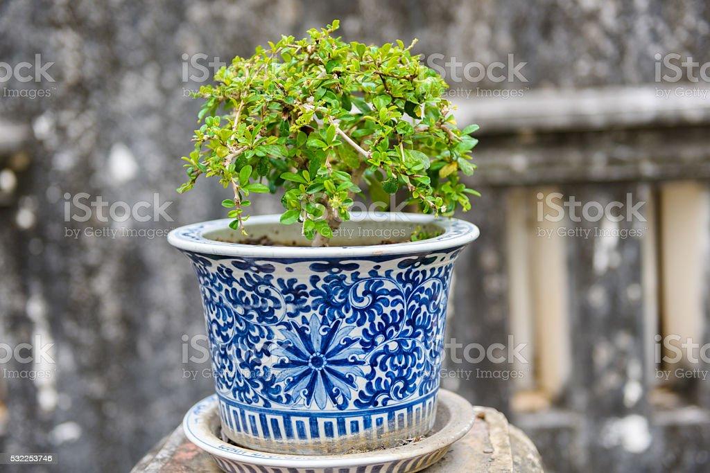 bonsai,Siamese rough bush in the porcelain pots stock photo