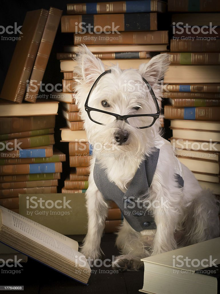 Bookworm Dog reading books and surrounded library stacks stock photo