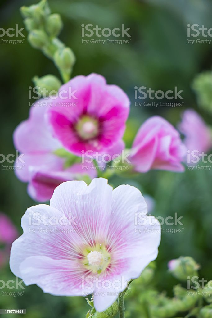 Booming pink flower royalty-free stock photo