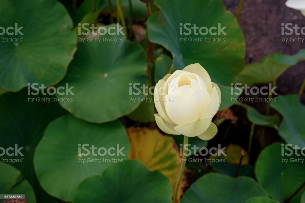A booming white lotus in the lake, symbol of purity stock photo