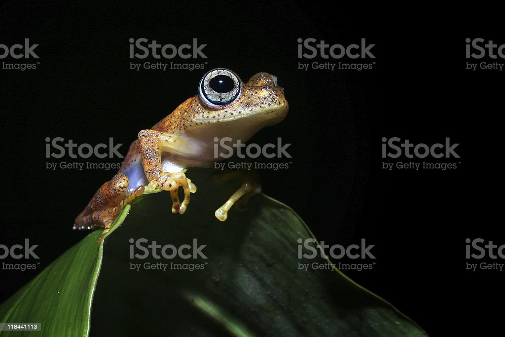 Boophis Frog stock photo