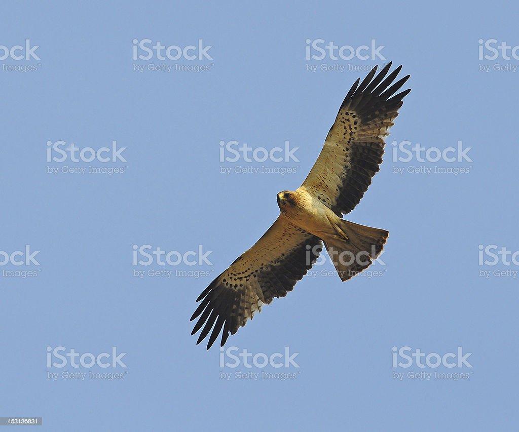 Booted Eagle stock photo