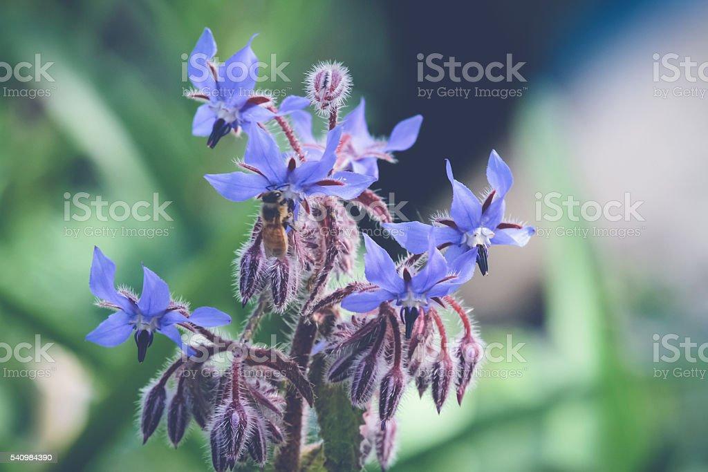 Borage and Bee stock photo