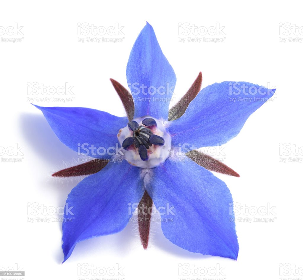 Borage flower stock photo