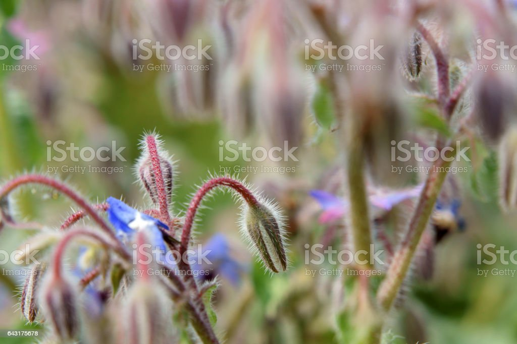 Borage flowers stock photo