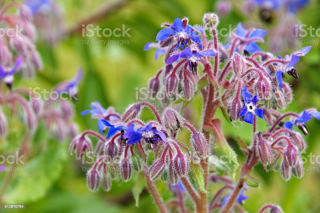 borage is blooming in blue stock photo
