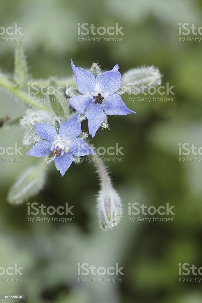 Borage royalty-free stock photo