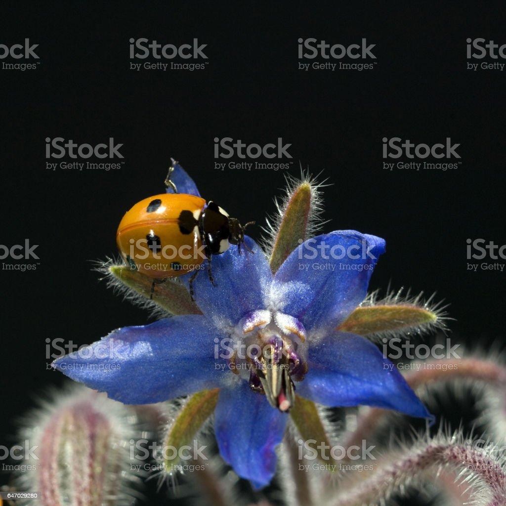 Borago officinalis, Coccinella, semptempunctata, stock photo