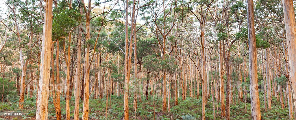 Boranup Karee Forest stock photo