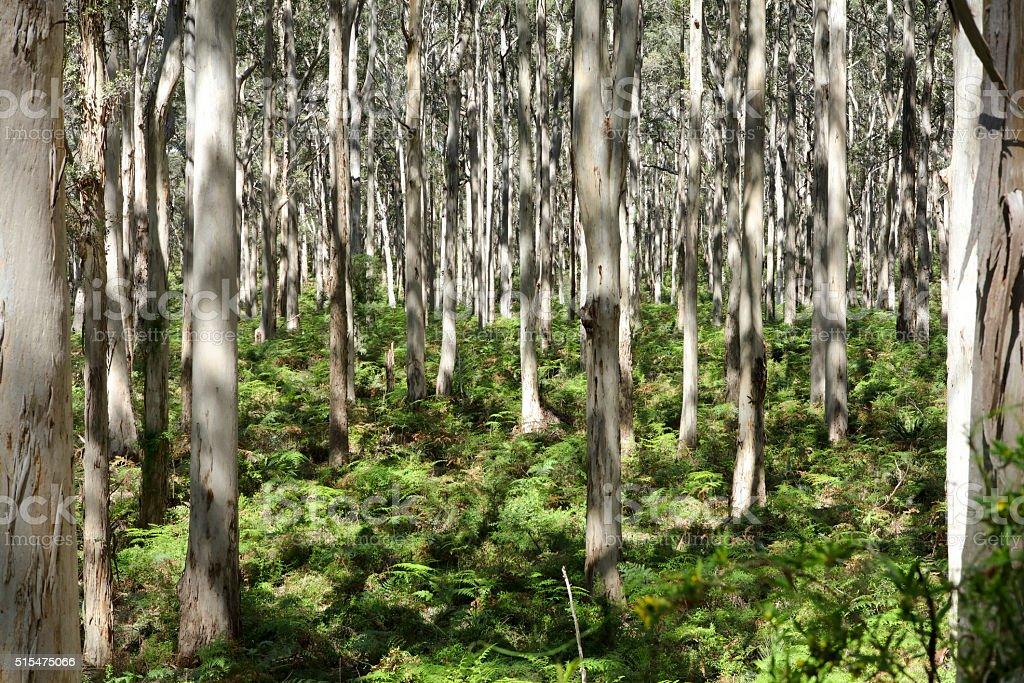Boranup Karri Forest, Karridale stock photo