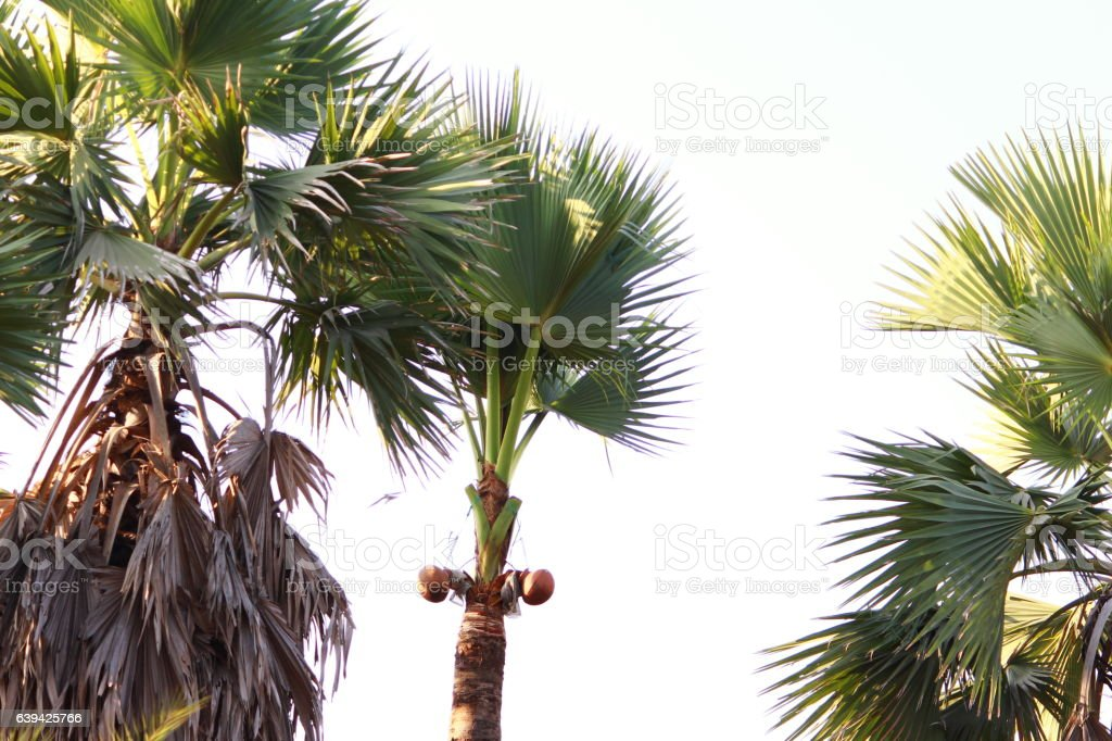 Borassus flabellifer Linn tree stock photo