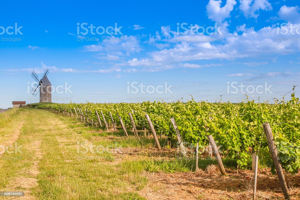 Bordeaux vineyard with Windmill stock photo