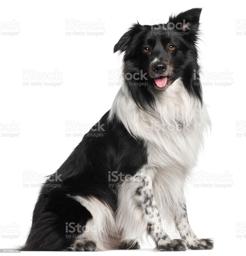 Border Collie, 3 and a half years old, sitting stock photo