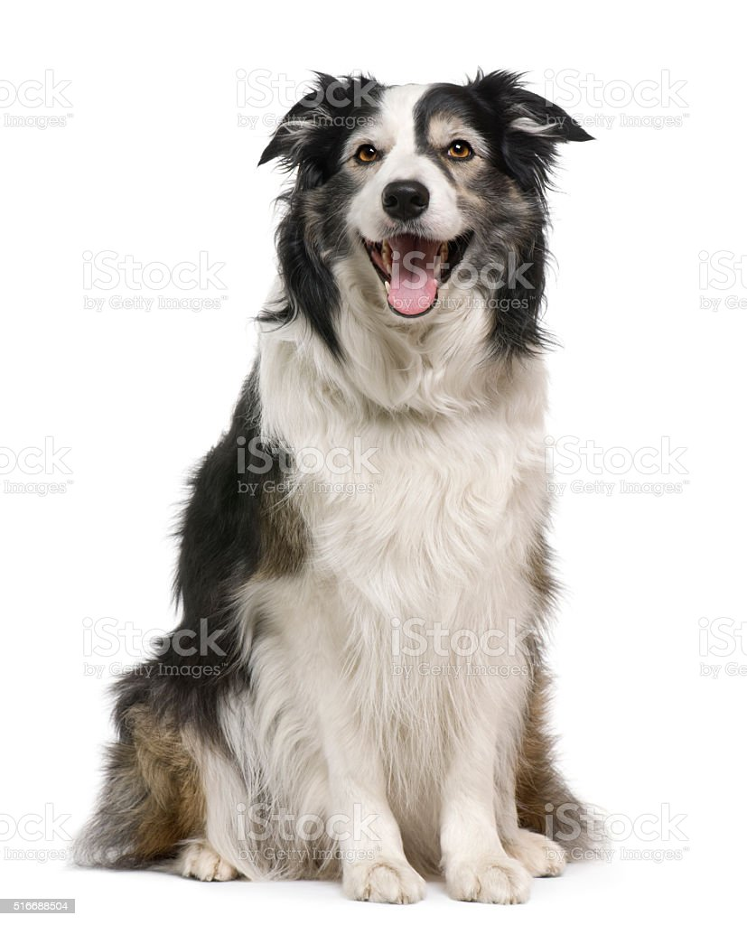 Border collie, 3 years old, lying stock photo