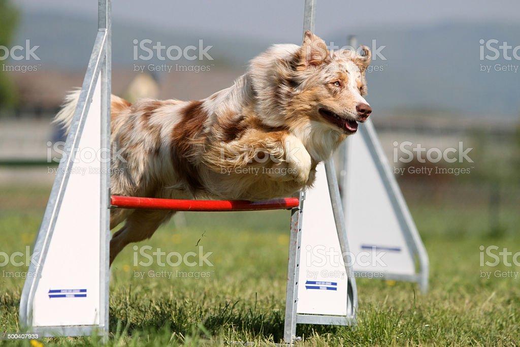 Border collie agility royalty-free stock photo