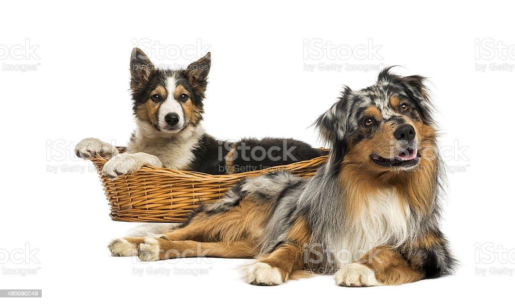 Border collie and Australian shepherd lying down, isolated stock photo